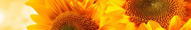 Girassois com sol em plano de fundo